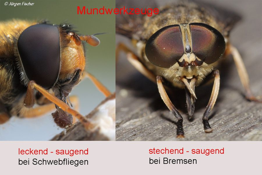 Zweiflügler - BUND Naturschutz in Bayern e.V.
