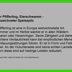 Echter Pfifferling